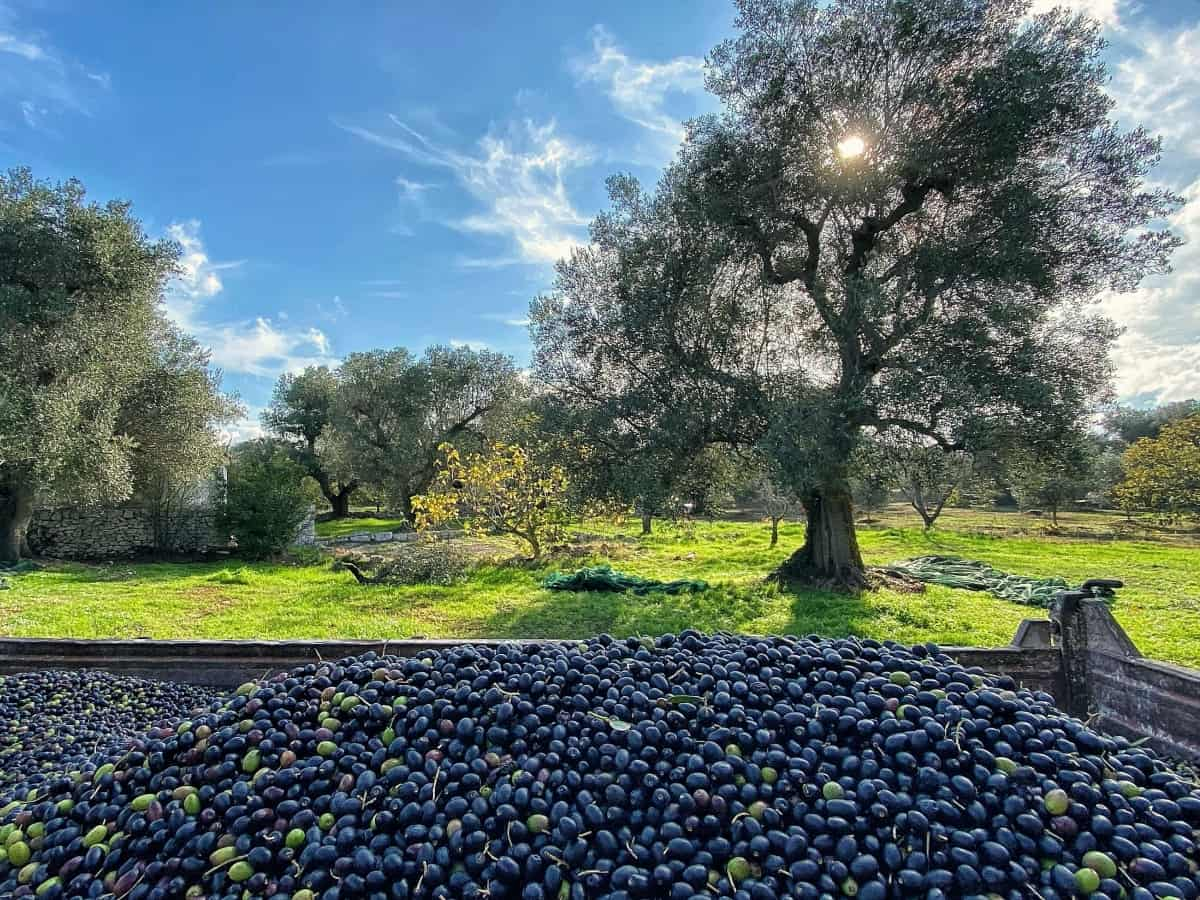 My first olive harvest