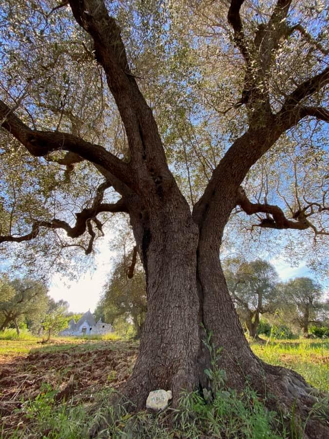 Bed en meet - Adopt an olive tree