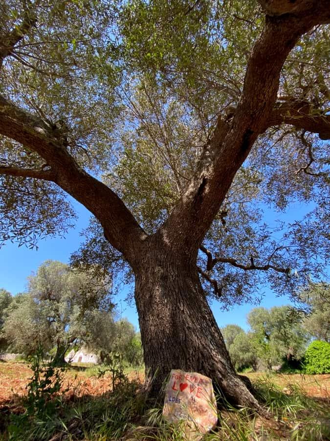 Loet San - Adopt an olive tree