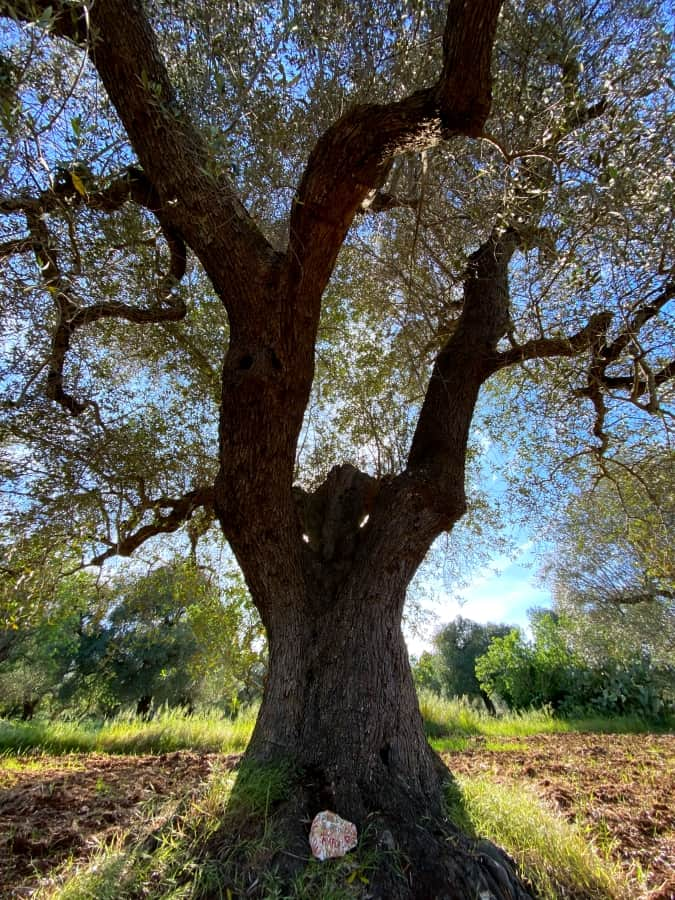 Marcel - Adopt an olive tree