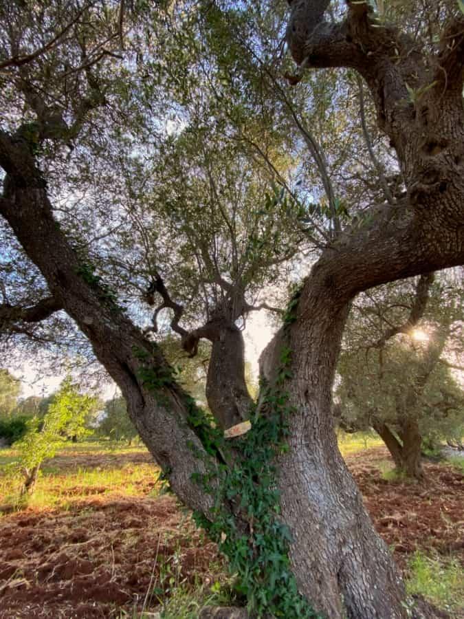 Wienke - Adopt an olive tree